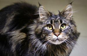 Что за порода кошек – мейн-кун?