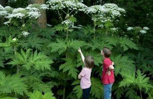 5 ядовитых для человека растений, которые могли притаиться на вашем участке